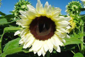ProCut White Nite Sunflower