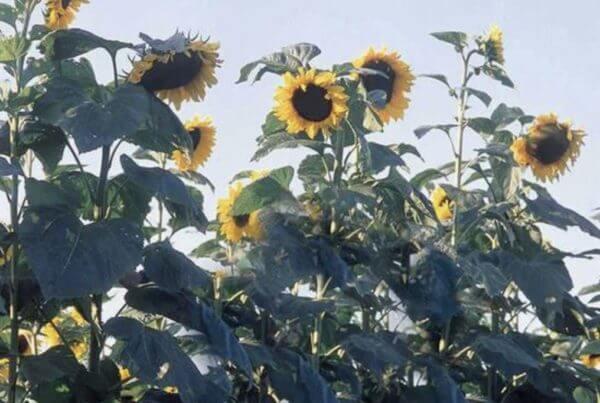 American Giant Hybrid Sunflower