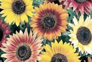 Autumn Beauty Sunflower Mix