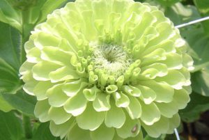 Benary Giant Lime Zinnia