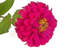 Benary Giant Wine Zinnia