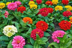 Benary Giant Zinnia Mix