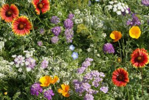 Beneficial Insect Wildflower Mix