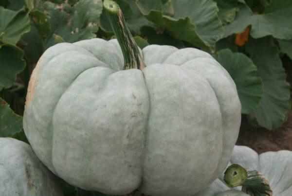 Blue Bayou Pumpkin