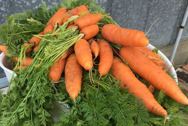 Bolero Carrot