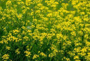 Broadleaf Mustard
