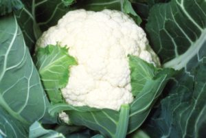 Candid Charm Cauliflower