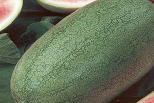 Charleston Gray Watermelon