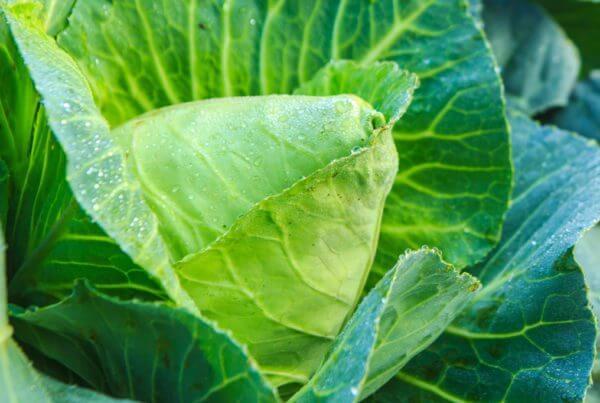 Charleston Wakefield Cabbage