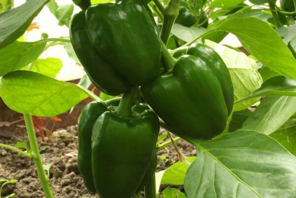 Cherokee Bell Pepper