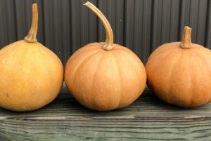 Cherokee Tan Pumpkin