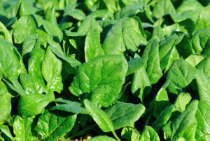FanTail Spinach