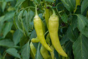 Gold Rush Banana Pepper