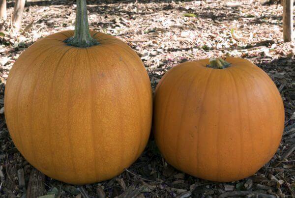 Harvest Jack Pumpkin
