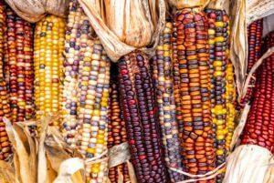 Indian Flour Corn