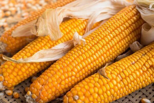 Lancaster Sure Crop Corn