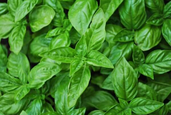 Large Italian Basil