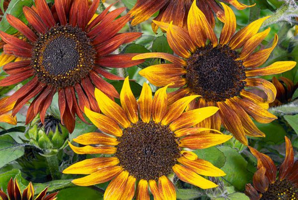 Mardi Gras Dwarf Sunflower