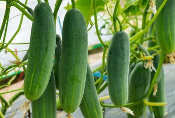 Mercury Cucumber