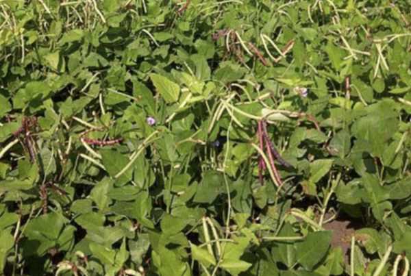 Mississippi Purplehull Pea