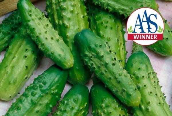 Parisian Gherkin Cucumber AAS