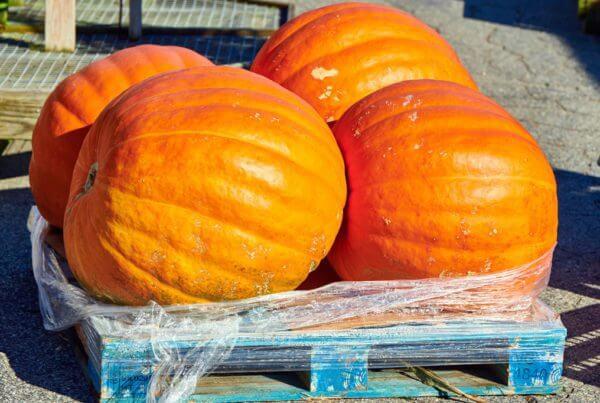 PrizeWinner Giant Pumpkin
