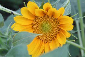 ProCut Gold Lite Sunflower