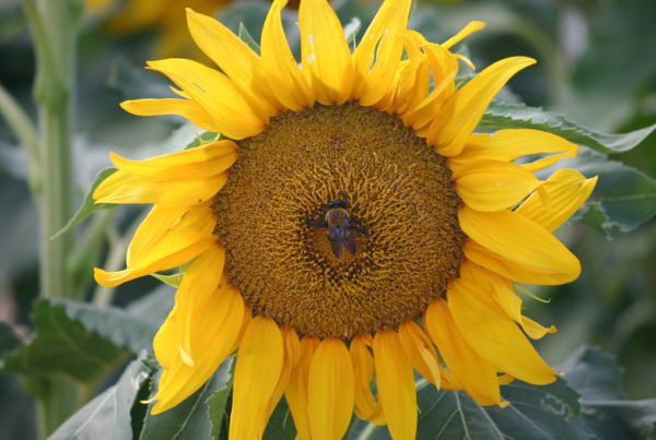 ProCut Orange Sunflower