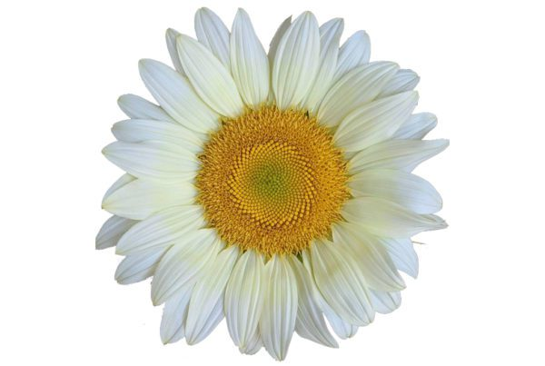 ProCut White Lite Sunflower