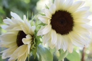 ProCut White Nite Sunflower