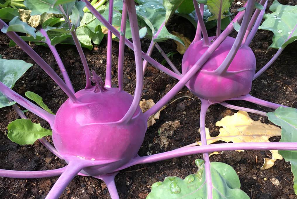 Purple Vienna Kohlrabi Premium Garden Seeds Hoss Tools