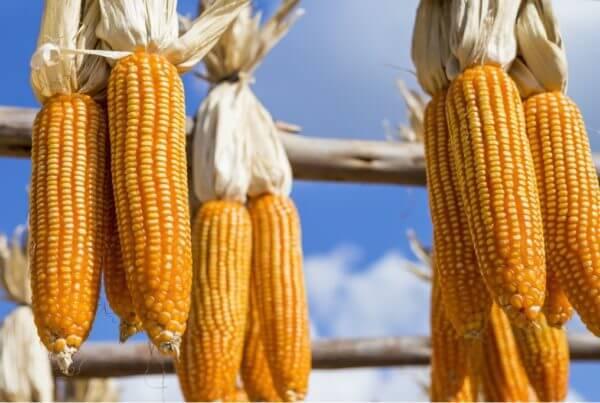 Reids Yellow Dent Corn