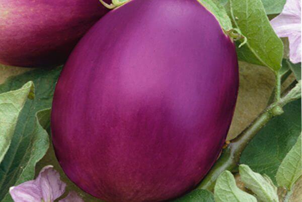 Rosalina Eggplant