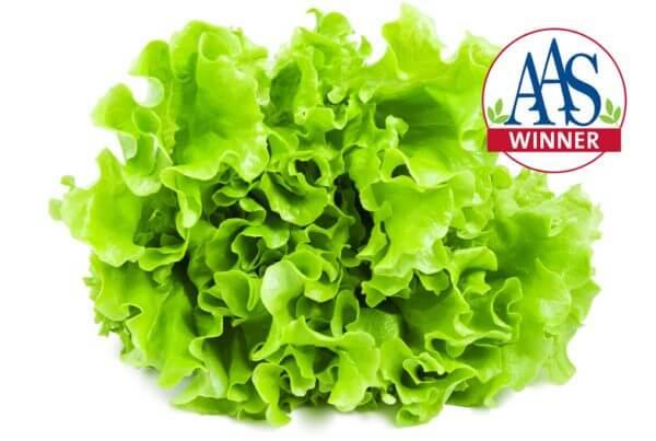 Salad Bowl Green Lettuce