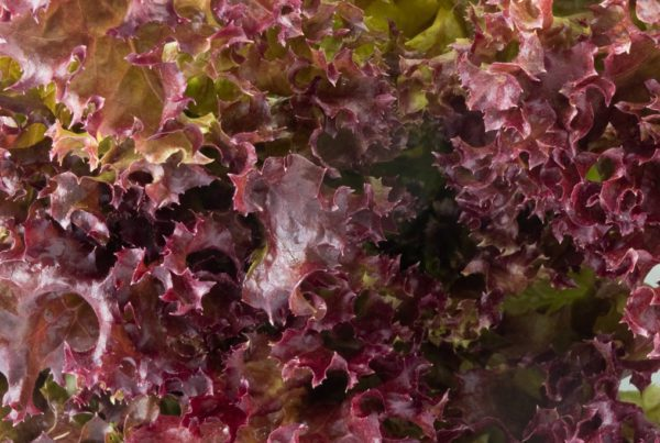 Salad Bowl Red Lettuce