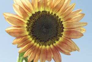 Santa Fe Sunset Sunflower