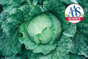Savoy King Cabbage