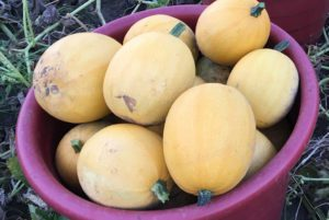 Small Wonder Spaghetti Squash