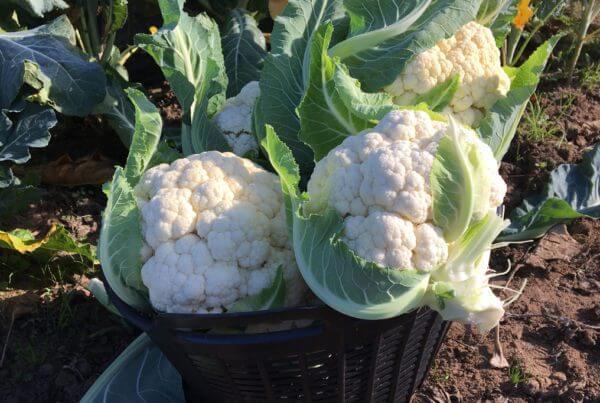 Snow Bowl Cauliflower