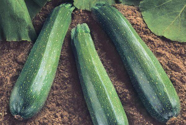 Spineless Supreme Zucchini