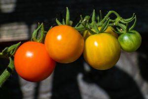 Sun Gold Tomato