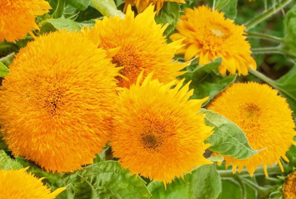 Sungold Dwarf Sunflower