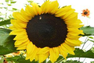 Sunspot Dwarf Sunflower