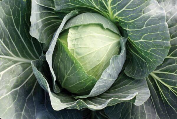 SuperStar Cabbage