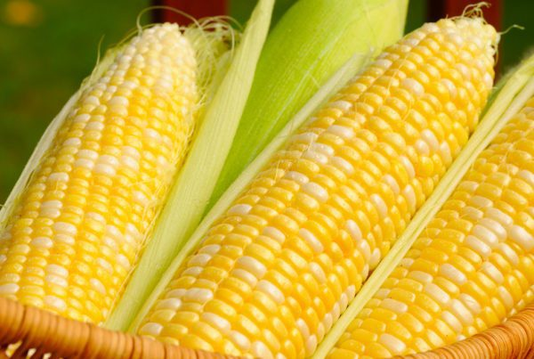 Temptress Sweet Corn