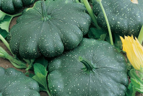 Total Eclipse Squash