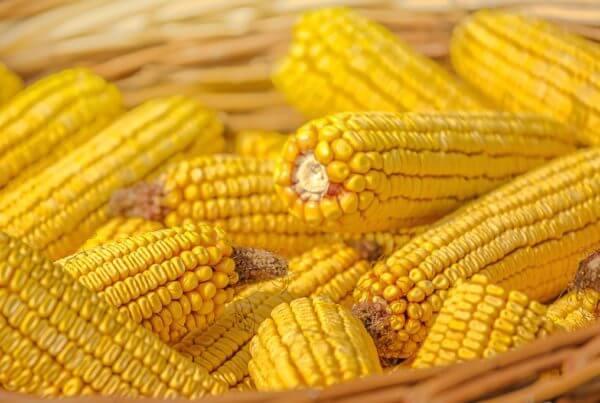 Truckers Favorite Yellow Corn