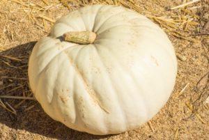 White Flat Boer Ford Pumpkin