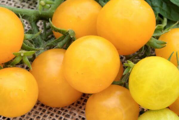 Yellow Canary Tomato
