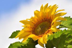 Kong Giant Sunflower